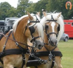 haflingerstaldeflammert.nl-website-20090711-141502-20091114-221442-054173