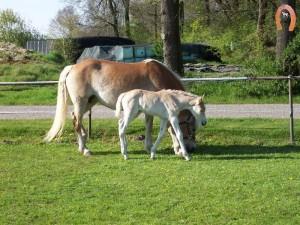 haflingerstaldeflammert.nl-website-20100508-194136-011162
