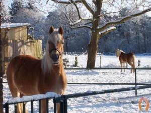 haflingerstaldeflammert.nl-website-20090105-141846-20090209-212624-937502