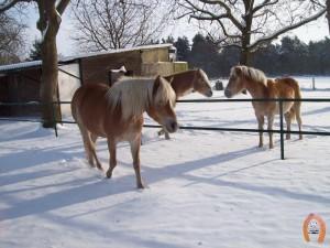 haflingerstaldeflammert.nl-website-20080330-140536-20110104-164619-642460