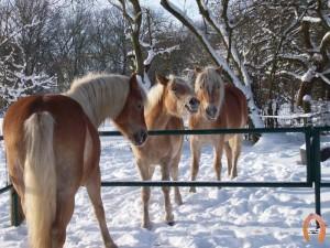 haflingerstaldeflammert.nl-website-20080330-142041-20110104-165246-697209